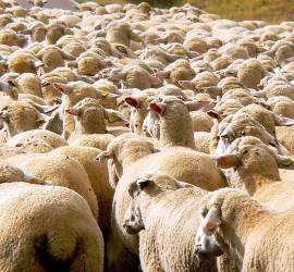 Lambs por José Luis Hernández Zurdo en cc sur Flickr